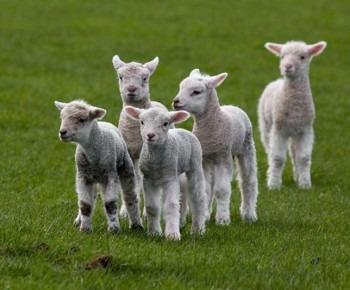 Fuzzy-Little-Lamb-1